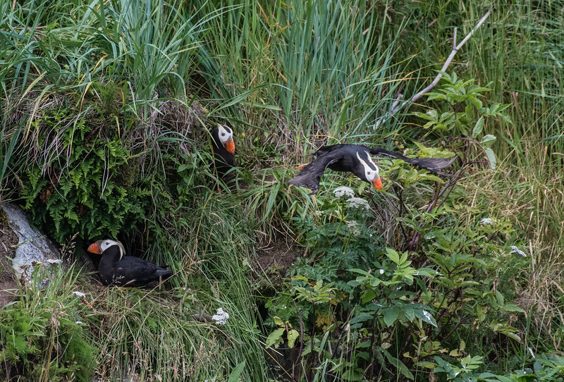 Tufted puffins nesting