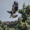 Bald eaglet learning to fly