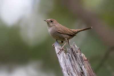 House Wren- Wrens always let their presence be known its then just a matter of trying to decide which species you can hear.  This House Wren was singing loudly as I made my up a local mountain.  Tough to get any great poses but I did manage this one shot of the second one I found.  Species 137