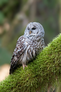 Barred Owl in Old Growth Forest