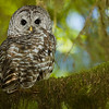 Barred Owl, San Juan River