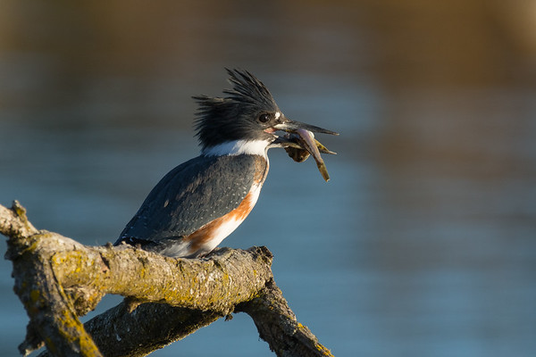 Belted Kingfisher - female waiting with a scuplin for her fledglings.
