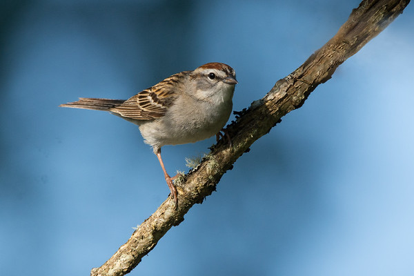 Chipping Sparrow  - Species #127 for the year