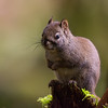 Red Squirrel - As much as Big Years are typically centred around bird I will also be including any wildlife I encounter as well.  This little cutie was hiding in the shadows as I hiked down the trail.  It sat motionless I was lucky to recoginize the profile as it was sitting on the log.   By far my favourite pic of this species.   Another west coast species that is struggling from the introduction of invasive species, not only are they being pushed out by the large eastern gray squirrel they also have to now be on the look out for Barred Owls