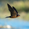 Barn Swallow - adult in-flight