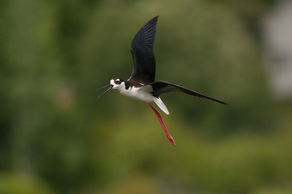 Black-necked Stilts first nesting pair on Vancouver Island