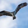 Osprey - inflight