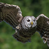 Barred Owl In-flight