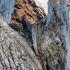 Great Horned Owl - Do you see what I see?  There is definitely something to be said for getting out a lot, your ears, eyes and senses really get tuned to your environment allowing you to find birds that you otherwise never would have found.  Admittedly Great horned owls have nested in this stand in years past so I was keeping an eye out for them, whats funny, at the distance it was, the piece of wood the owl is hiding behind has two horns on it and looked like an owl.