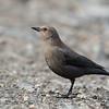 Brewer Blackbird - Female