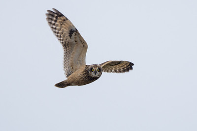 Short-eared Owl - as I decided to do a big year in early February I had missed my Short-eared Owl photo ops last winter and was hoping a few would show up again on the island before year end.  A few rumblings from up island made for a road trip that and the rough-legged hawk rumours.  The light was low and the owls kept their distance for the most part but i did manage some nice in-flights for species 176 photogrpahed for the year.