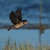 Barn Swallow - juvenile