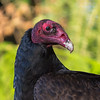 Turkey Vulture  - a poor bunnies demise provided me with one of my closest vulture portraits.  Luckily there was no traffic on the country road as I stopped in the middle, rolled down the window and slowly got the camera out and focussed on the perched vulture as it waited for me to leave to get back to its meal.