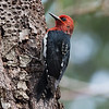 Red-breastded Sapsucker - So far I have been keeping a new bird a day pace, which with the arrival of the southern migrants over the coming weeks I am hoping to be able to keep up into May - early June after which I'm sure it will be a lot tougher.   A long hike in search of pygmy owls again, at least I was able to find this sapsucker along with another pair of Barred Owls thats three pairs in the last three days.