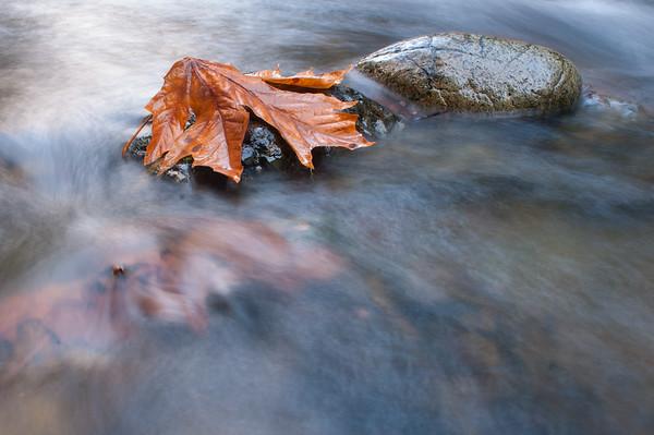 Stranded - Big Leaf maple