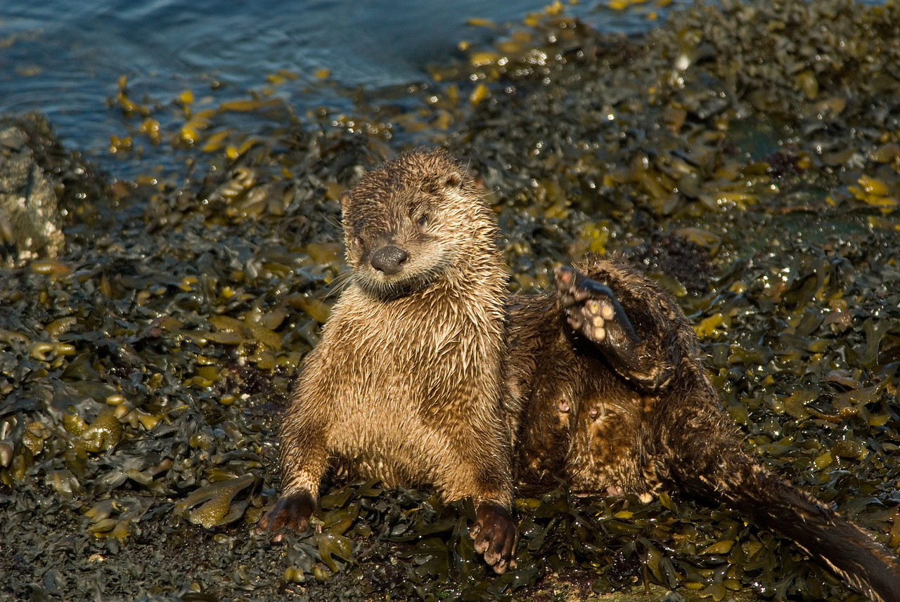 River Otter - Oak Bay