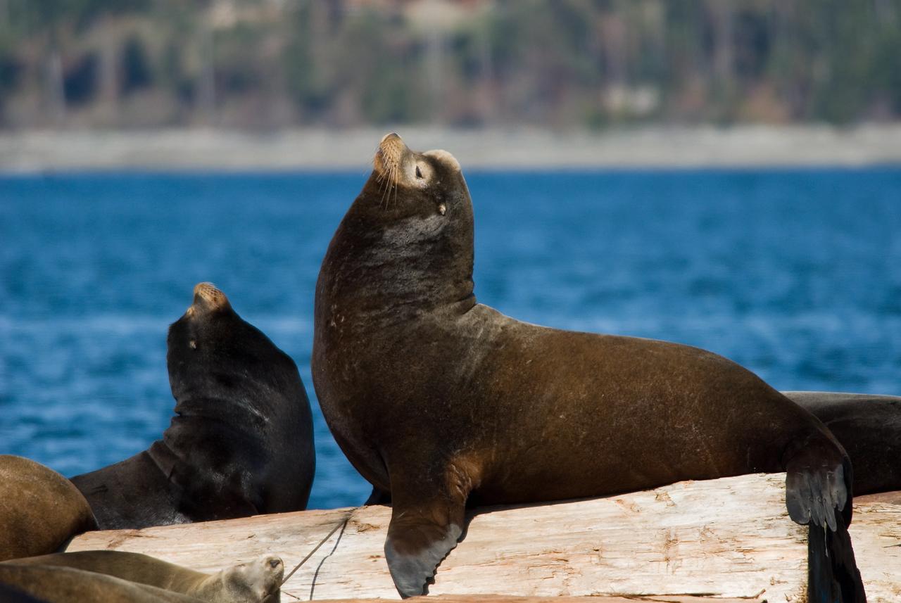 Northern Sea Lion, Fanny Bay Vancouver Island
