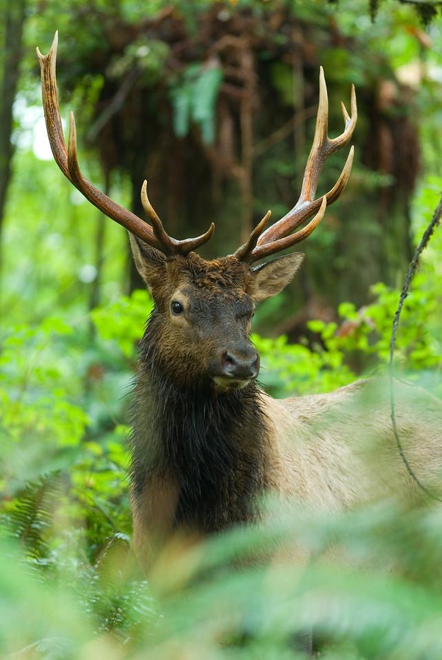 Roosevelt elk,  Lake Cowichan