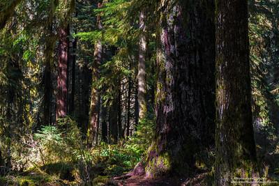 Paseando por el bosque de Hoh / Strolling through the Hoh forest