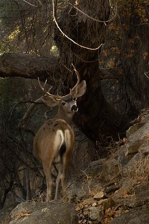Autumn Buck by Dan Potter