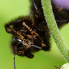 Sleeping Humblebee