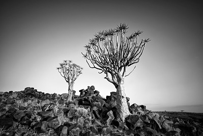 Two trees at the Mesosaurus Fossil Site and Quiver Tree Forest in black and white. Namibia