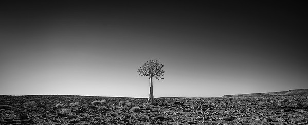 Black and white lone Quiver Tree (Aloe dichotoma). The hard, rocky arid landscape of Fish River Canyon that is home to these fascinating desert specimens. Horizontal wide angle contrasted landscape image.