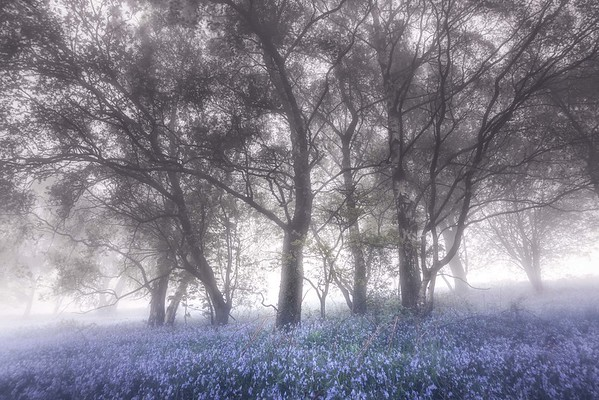 Jubilee Drive Bluebells in the Mist