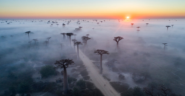 Aerial photography view point of The Allee de Baobab (The Alley of Baobabs), on a misty morning dawn trail, accompanied by a glorious sunrise. Morondova, Madagascar. Full colour horizontal image, wide angle panoramic landscape.