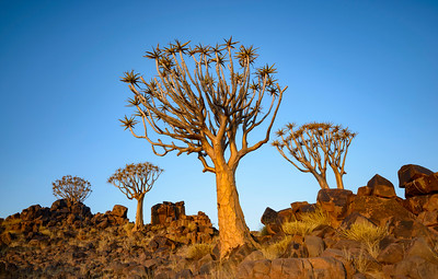 Four Quiver trees on rocks beneath a light blue sky above. Evening, Full colour landscape image. Mesosaurus Fossil Site, Namibia