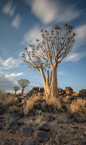 A pair of joined Quiver trees with cirrus cloud sky. Long exposure colour image. The Mesosaurus Fossil Site and Quiver Tree Forest, Namibia