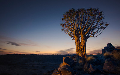 A stark and lonely quiver tree stands still on the arid, rugged landscape, like some giant prehistoric dandelion in the dawn sky. Full colour horizontal image