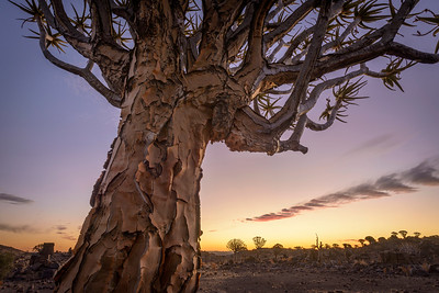 A stark and lonely quiver tree stands still on the arid, rugged landscape, like some giant prehistoric dandelion in the dawn sky. Full colour horizontal image.
