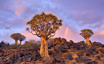 Quiver trees on their boulder laden landscape with a visiting rainbow. Full colour horizontal landscape image. Mesosaurus Fossil Site and Quiver Tree Forest, Namibia