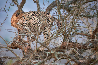 A large adult cheetah with a turned gaze crouches motionless and focused in a bare, dry tree. Thanda Game Reserve, Kwazulu-Natal Province, South Africa. Full colour image.