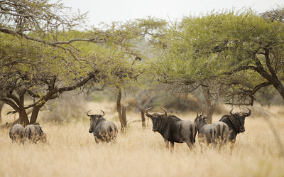 A herd of Wildebeest feed in the long grass in the shade of the thorny Acacia trees, with the two rear wildebeest turning back to stare inquisitively at the photographer. Full colour horizontal group image. Zen Zulu Private Game Reserve, Kwazulu Natal Province, South Africa.