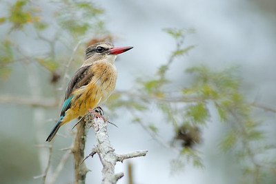 A side profile, close up macro full colour horizontal image of a female Brown-hooded Kingfisher perched on the thorny branch of an Acacia tree