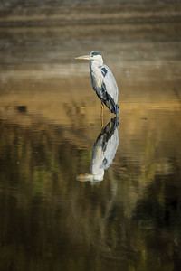 An African Grey Heron {Ardea cinera}, standing quietly and patiently in the water. Side profile full colour horizontal image, Thanda Game Reserve, Kwazulu Natal Province, South Africa