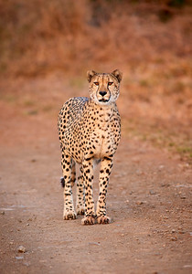 A large male Cheetah stands motionless and alert on a dirt road. Thanda Game Reserve, Kwazulu-Natal Province, South Africa. Full colour image.