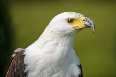 A magnificent full colour macro horizontal close up of a posed and very intense looking Fish Eagle. It's natural elegance is plainly apparent in this brilliant side profile image.