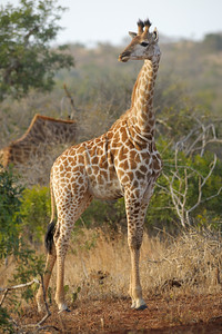 A full colour vertical image of a young MALE/FEMALE? giraffe standing out in the open surrounded by bush, scrub and the thorny trees they like to eat from...??  (leaves and twigs of acacia, mimosa, and wild apricot trees (also various trees and shrubs in the genera Commiphora and Terminalia))  The giraffe in the background is bending down and blurred, and the giraffe in the foreground is beautifully in focus. Thanda Game Reserve, Mkuze, Kwazulu-Natal Province, South Africa    WHERE IS THIS PLACE?