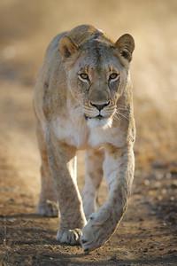 Lioness walking along road, Thanda Game Reserve, Kwazulu-Natal, South Africa