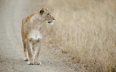 Lioness looking into grass, Thanda Game Reserve, Kwazulu Natal, South Africa