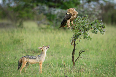 A Black Backed Jackal stares up at a Wahlberg's Eagle who glares down in defiance and clear annoyance at this four-legged intruder. This full colour horizontal image is beautifully captured.