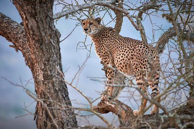 A large adult cheetah with a full stomach stands focused and motionless in a bare, dry tree. Thanda Game Reserve, Kwazulu-Natal Province, South Africa. Full colour image.