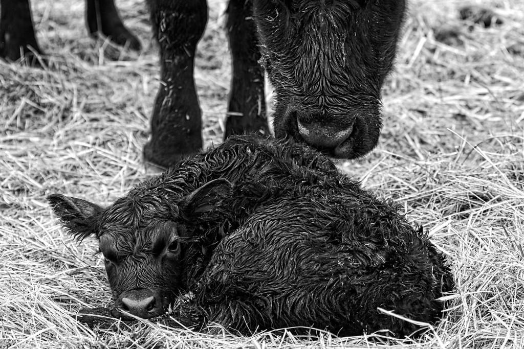 Fresh Calf