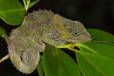 Short-horned Chameleon