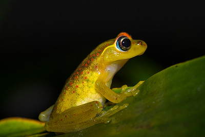 Red-backed Frog