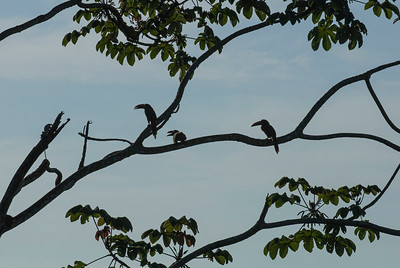 Three Aracaris