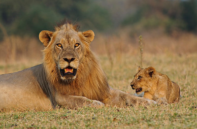 Male Lion and Cub, Hollywood Pride
